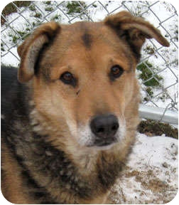 Shepherd (Unknown Type)/Chow Chow Mix Dog for adoption in Bonners Ferry, Idaho - Cooper