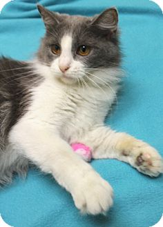 Domestic Longhair Cat for adoption in Chicago, Illinois - Lilo