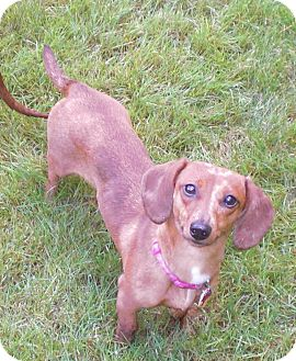 Dachshund Dog for adoption in Portland, Oregon - DORA