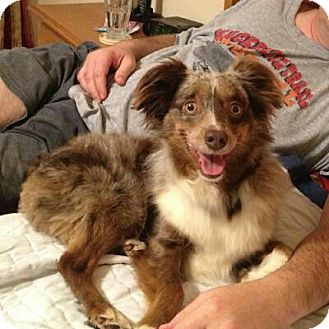 "Australian Shepherd Dog for adoption in Abilene, Texas - ""Bo"" Bojangles"