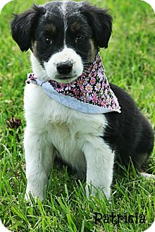 Catahoula Mix Shepherd Dog Breed http://www.adoptapet.com/pet/8912443-glastonbury-connecticut-australian-shepherd-mix