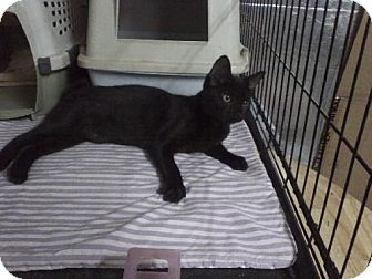 Manx Cat for adoption in Tampa, Florida - CHANCEY (GS)