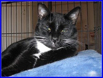 Domestic Shorthair Cat for adoption in Oakland, Oregon - Mia