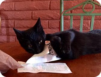 Domestic Shorthair Kitten for adoption in Glendale, Arizona - Tom Sawyer