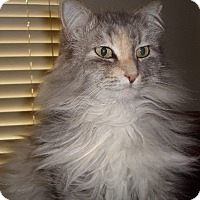 Domestic Longhair Cat for adoption in Chandler, Arizona - Puff, Stormy & Cali