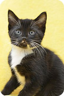 Domestic Shorthair Cat for adoption in Atlanta, Georgia - Coventry	160583