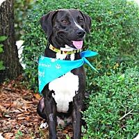 Adopt A Pet :: Charles Barkley - Gainesville, FL