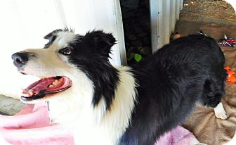 Border Collie Mix Dog for adoption in Perryville, Missouri - Bandit