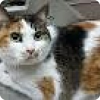 Calico Cat for adoption in Berkeley Hts, New Jersey - URGENT-Casey