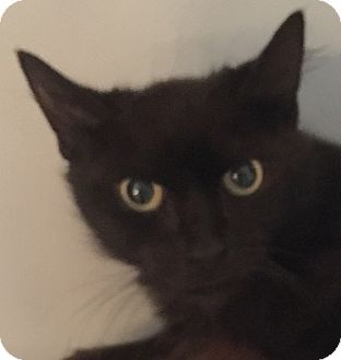 Domestic Longhair Cat for adoption in Mount Pleasant, South Carolina - Mystery