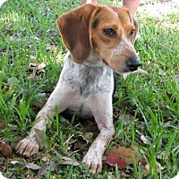 Adopt A Pet :: Lil Momma - Orlando, FL