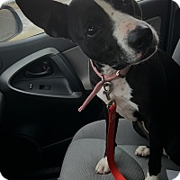 Pit Bull Terrier Mix Dog for adoption in Cody, Wyoming - Cupcake