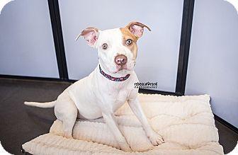 Pit Bull Terrier/Labrador Retriever Mix Puppy for adoption in Atlanta, Georgia - Holly
