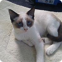 Snowshoe Kitten for adoption in Saint Albans, West Virginia - ASH