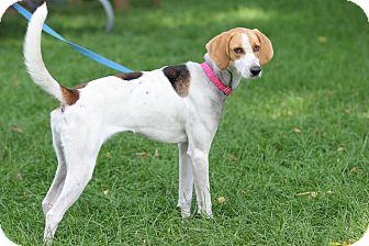 Coonhound (Unknown Type) Mix Dog for adoption in Midland, Michigan - Ranita