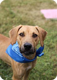 Black Mouth Cur Mix Dog for adoption in Lakeland, Florida - Buckeye