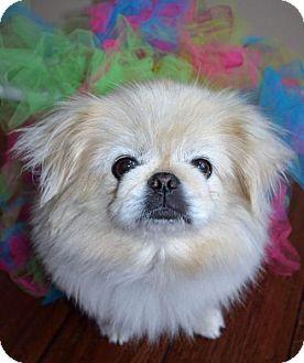 Pekingese Dog for adoption in Florence, Kentucky - Nutmeg
