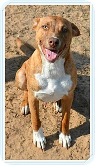 Terrier (Unknown Type, Medium)/Jack Russell Terrier Mix Puppy for adoption in Pluckemin, New Jersey - Finn