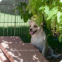 Adopt A Pet :: Snow - Tempe, AZ