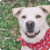 Labrador Retriever Mix Dog for adoption in San Leon, Texas - Noodle