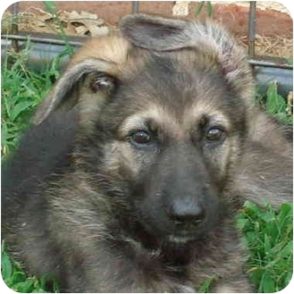 German Shepherd Dog Puppy for adoption in Pike Road, Alabama - Roxie