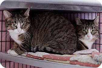 Domestic Shorthair Cat for adoption in Milwaukee, Wisconsin - Blossom and Blush