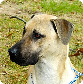 Labrador Retriever/Boxer Mix Dog for adoption in Groton, Massachusetts - RJ