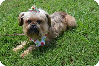 Brussels Griffon/Terrier (Unknown Type, Small) Mix Dog for adoption in Hagerstown, Maryland - Penelope