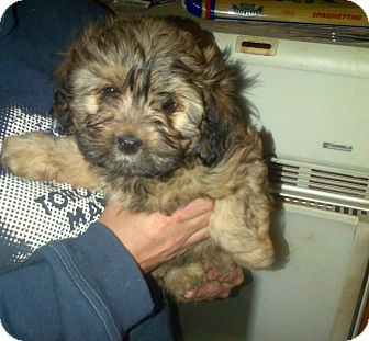 Shih Tzu/Poodle (Miniature) Mix Puppy for adoption in Northumberland, Ontario - Bear (Puppy)