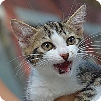 Adopt A Pet :: Ollie - Brooklyn, NY