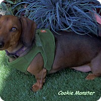 Adopt A Pet :: Cookie Monster - Chandler, AZ