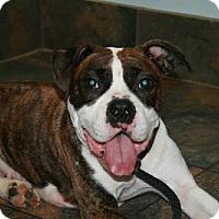 Adopt A Pet :: Cha Cha - Cary, NC