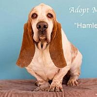 Adopt A Pet :: Hamlet - Acton, CA