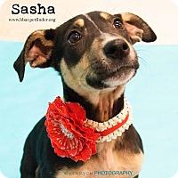 Adopt A Pet :: Sasha - Bedford, TX