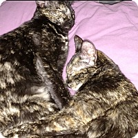 Domestic Mediumhair Cat for adoption in Salisbury, North Carolina - Nila & Dottie