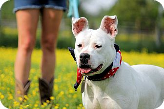 American Bulldog Mix Dog for adoption in Colmar, Pennsylvania - Neena Cherry
