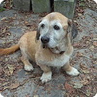 Adopt A Pet :: Mr. Shnookles - Loudoun County, VA