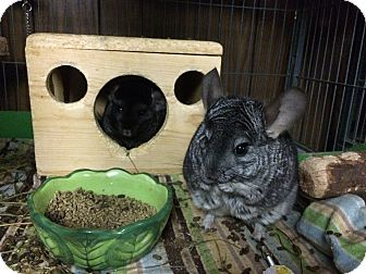 Chinchilla for adoption in Hammond, Indiana - Electra & Cinder
