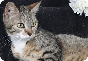 Domestic Shorthair Cat for adoption in Jackson, New Jersey - Clarissa