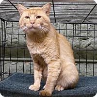 Domestic Shorthair Cat for adoption in Marlinton, West Virginia - Sundance