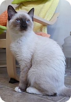 Birman Cat for adoption in Long Beach, California - Avalan