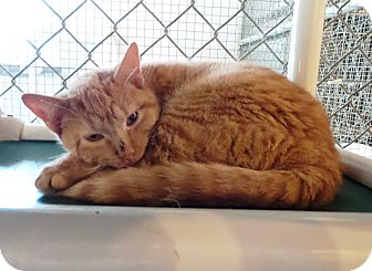 Domestic Shorthair Cat for adoption in Geneseo, Illinois - Dudley