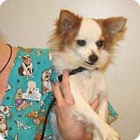 Pomeranian Mix Dog for adoption in Wildomar, California - Maggie May