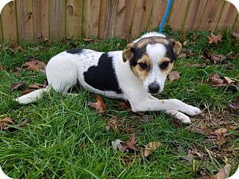 Rat Terrier Mix Dog for adoption in New York, New York - Pierre