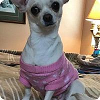 Adopt A Pet :: Sugar - Grass Valley, CA