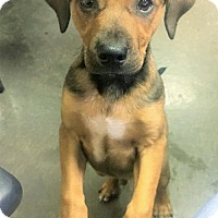 Adopt A Pet :: Plum - Tempe, AZ