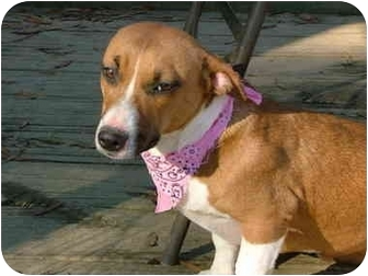 Jack Russell Terrier/Boxer Mix Dog for adoption in Bedminster, New ...