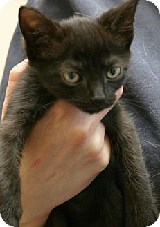 Domestic Shorthair Kitten for adoption in Secaucus, New Jersey - Home Fries
