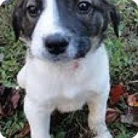 Adopt A Pet :: Johnny Domino - Brattleboro, VT