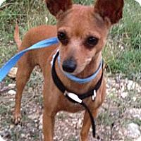 Adopt A Pet :: Chichi - Kempner, TX